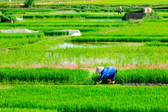 NAMDINH, VIETNAM - JULY 13, 2014 - An unidentified woman planting rice on the fields. Royalty Free Stock Photos