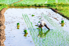 NAMDINH, VIETNAM - JULY 13, 2014 - An unidentified woman planting rice on the fields. Royalty Free Stock Images