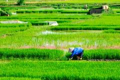 NAMDINH, VIETNAM - 13 luglio 2014 - una donna non identificata che pianta riso sui campi Fotografie Stock Libere da Diritti