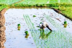 NAMDINH, VIETNAM - 13 luglio 2014 - una donna non identificata che pianta riso sui campi Immagini Stock Libere da Diritti
