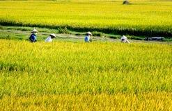 Namdinh, Vietnam - 31 maggio 2015 - agricoltori che raccolgono riso sui campi Immagine Stock