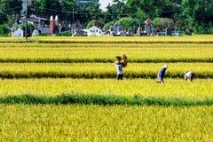Namdinh, Vietnam - 31 maggio 2015 - agricoltori che raccolgono riso sui campi Fotografie Stock Libere da Diritti