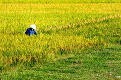 Namdinh, Vietnam - 31 maggio 2015 - agricoltori che raccolgono riso sui campi Fotografia Stock Libera da Diritti