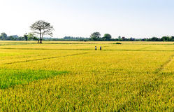 Namdinh, Vietnam - May 31, 2015 - Scenery of ripen paddy fields at harvesting time. Royalty Free Stock Photo