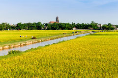 Namdinh, Vietnam - May 31, 2015 - Scenery of ripen paddy fields at harvesting time. Typical scenery of the paddy fields in Northern Vietnam Royalty Free Stock Image