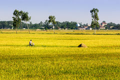 Namdinh, Vietnam - May 31, 2015 - An unidentified man riding a bicycle along the ripen rice fields. Stock Photo