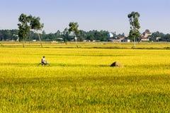 Namdinh, Vietnam - Mei 31, 2015 - een niet geïdentificeerd personenvervoer een fiets langs rijpt padievelden stock foto