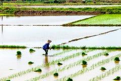 NAMDINH, VIETNAME - 13 de julho de 2014 - um arroz de transplantação da mulher não identificada nos campos manualmente Imagem de Stock Royalty Free
