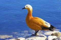 The name of a bird Ogar. The name of a bird Ogar,Red duck(Tadorna ferruginea royalty free stock image
