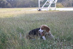 dog begle playing in green grass field royalty free stock photography