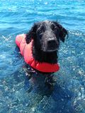 Black dog bathed in crystal clear water. royalty free stock photography