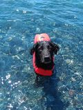 Black dog bathed in crystal clear water. royalty free stock photos