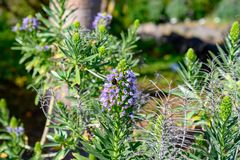 The name of the flower is echium brevirame. I discovered this plant while hiking on La Palma royalty free stock photos