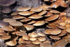 Nameko Mushrooms Stock Image
