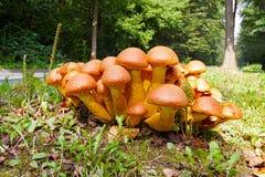 Nameko mushrooms on a tree stump Stock Photos