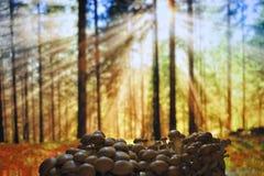 Nameko Pholiota. Το Shiitake.Mushroom Στοκ Φωτογραφία