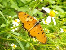Nameless butterfly royalty free stock photo