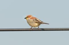 NamePlain-υποστηριγμένο πουλιά σπουργίτι Στοκ φωτογραφία με δικαίωμα ελεύθερης χρήσης