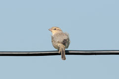 NamePlain-υποστηριγμένο πουλιά σπουργίτι Στοκ Εικόνα
