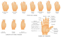 Names of the Fingers Stock Photos