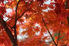 Nami Island Autumn Foliage Arkivfoto
