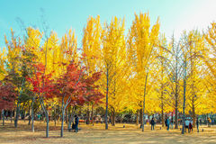 NAMI ISLAND,KOREA - OCT 25: Tourists taking photos. NAMI ISLAND,KOREA - OCT 25: Tourists taking photos of the beautiful scenery in autumn around Nami Island Stock Image