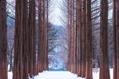 Nami island,Row of pine trees. Stock Image