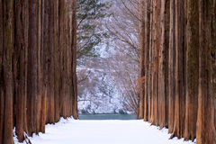 Nami island,Row of pine trees. Royalty Free Stock Photography