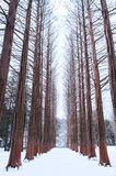 Nami island Row of pine trees in winter. Stock Photo