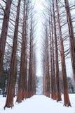 Nami island Row of pine trees in winter. Stock Photo