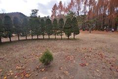 Namisum Island South Korea maple red leaf. Nami Island South Korea Autumn leaf Maple royalty free stock photography