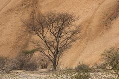 Namib Desert - Lonely tree, Africa stock photo