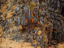 Namib day gecko camouflaged in the bark of a tree. Location Kuneneriver, Northern Namibia royalty free stock photography