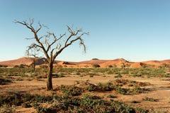 Namib Desert. Dry tree in Namib desert, picture taken in Namibia Royalty Free Stock Images