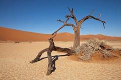 Namib desert. Dry trunks of  acacia in Namib desert. Red sand dunes in background Stock Photography
