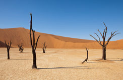 Namib desert. Dry trunks of acacia in Namib desert. Red sand dunes in background, clear sky royalty free stock image