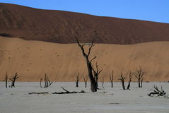 Namib Desert. Dead trees in the Namib Desert royalty free stock images