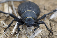 Namib Desert Beetle Stock Photos