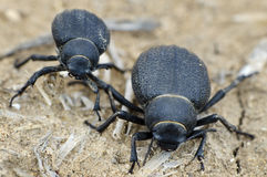 Namib Desert Beetle Royalty Free Stock Photos