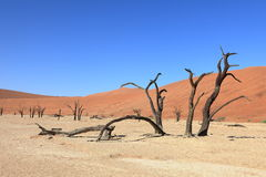 Namib desert with the Deadvlei and Sossusvlei in Namibia. The Namib desert with the Deadvlei and Sossusvlei in Namibia stock images