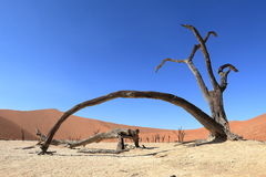 Namib desert with the Deadvlei and Sossusvlei in Namibia. The Namib desert with the Deadvlei and Sossusvlei in Namibia Stock Image