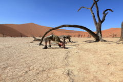Namib desert with the Deadvlei and Sossusvlei in Namibia Stock Image