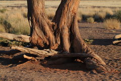 Namib desert with the Deadvlei and Sossusvlei in Namibia. The Namib desert with the Deadvlei and Sossusvlei in Namibia stock photos