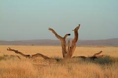 Namib desert with the Deadvlei and Sossusvlei in Namibia. The Namib desert with the Deadvlei and Sossusvlei in Namibia Royalty Free Stock Photos