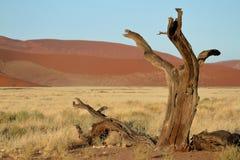 Namib desert with the Deadvlei and Sossusvlei in Namibia. The Namib desert with the Deadvlei and Sossusvlei in Namibia Royalty Free Stock Photography