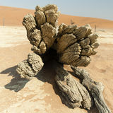 Namib Desert. Fallen tree on Namib Desert Royalty Free Stock Photography