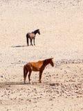 The Namib Desert feral horses herd at waterhole near Aus, Namibia, Africa Stock Photography