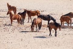The Namib Desert feral horses herd at waterhole near Aus, Namibia, Africa Royalty Free Stock Image