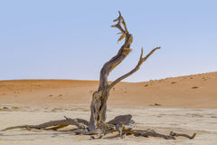 Namib desert in Namibia. Namib desert scenery with dead acacia tree around Deadvlei in the Sossusvlei area in Namibia, Africa Royalty Free Stock Photography