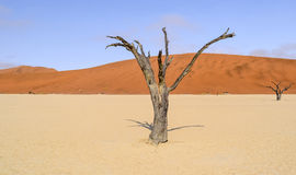 Namib desert in Namibia. Namib desert scenery with dead acacia trees around Deadvlei in the Sossusvlei area in Namibia, Africa Stock Images
